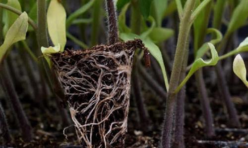 plantulas-tomates