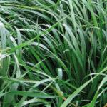 Rye Grass Híbrido Perenne Acrobat