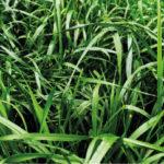 Rye Grass Anual Aubade