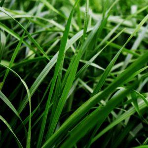 Rye Grass Híbrido Perenne Boxer