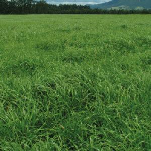 Rye Grass Bianual Max