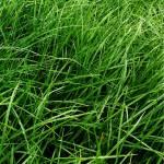 Rye Grass Ohau Certified