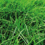 Rye Grass Prospect Certified