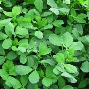 Alfalfa Moapa 69