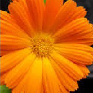 Calendula Officinalis Naranja