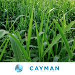 Brachiaria Hibrido CV. Cayman