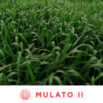 Brachiaria Hibrido CV. Mulato II