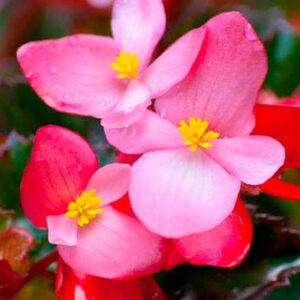 Begonia Mezcla
